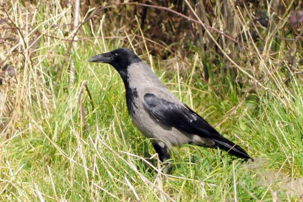 hooded-crow-standing-in-long-grass