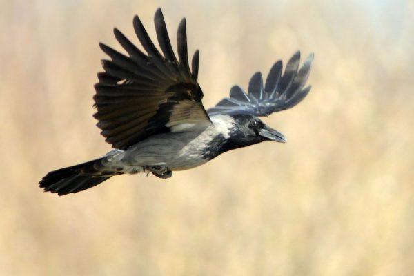 hooded-crow-in-flight
