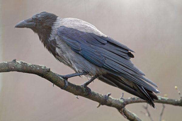 hooded-crow-perched-in-the-rain