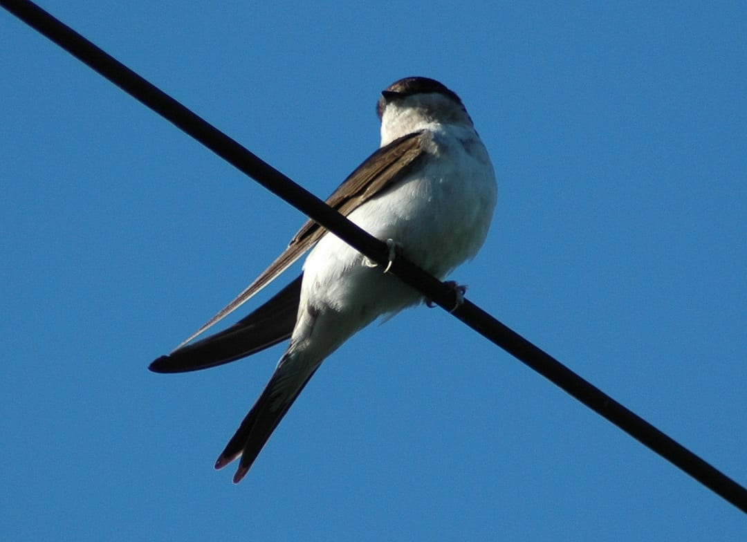 house-martin-juvenile-perched-on-electric-cable