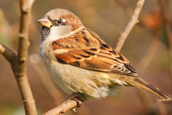 house-sparrow-perched-on-branch