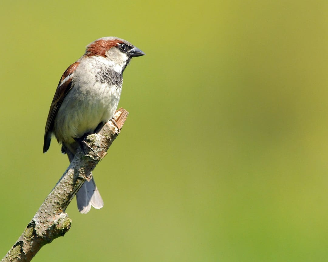 house-sparrow-perched-on-stick