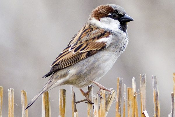 house-sparrow-male-perched-on-wicker-fence