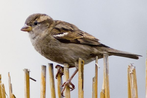house-sparrow-female-perched-on-wicker-fence