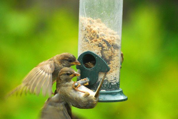house-sparrow-juveniles-at-feeder