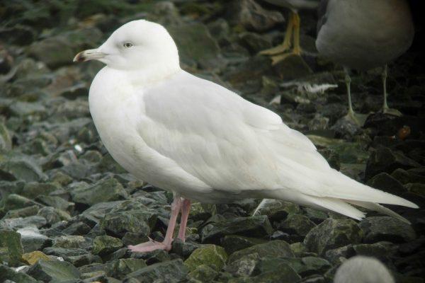 iceland-gull-standing-on-stoney-ground
