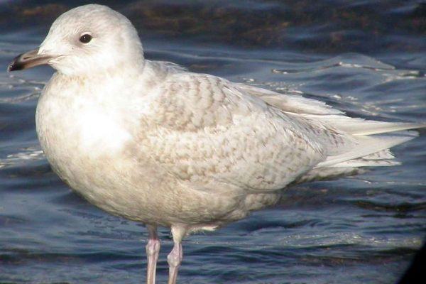 iceland-gull-first-winter-plumage