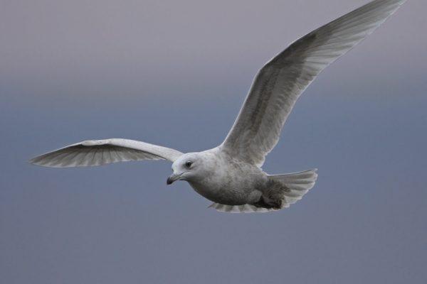 iceland-gull-in-flight