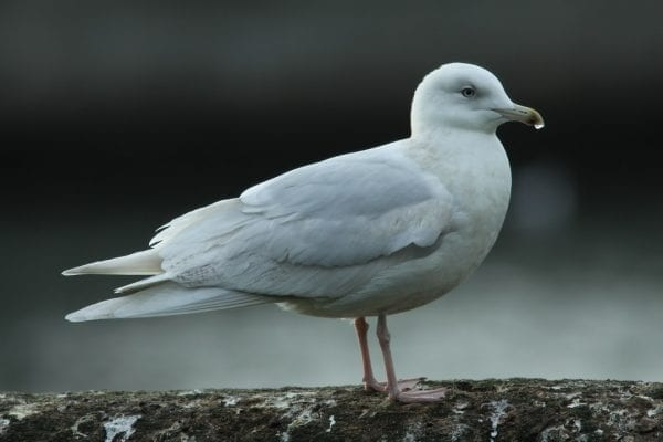 iceland-gull-standing-on-wall