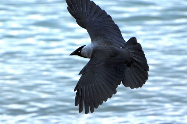 jackdaw-in-flight-over-water