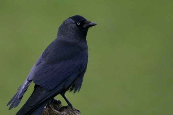 jackdaw-perched-on-branch-green-background