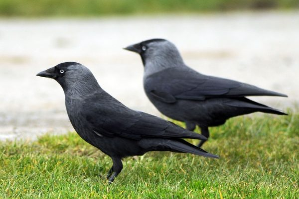 two-jackdaws-standing-side