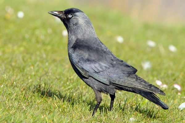 jackdaw-standing-on-grass-hillside