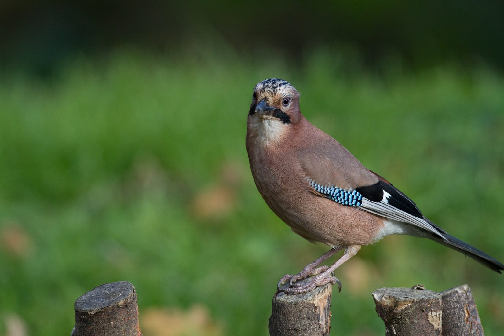 jay-standing-on-fence-post