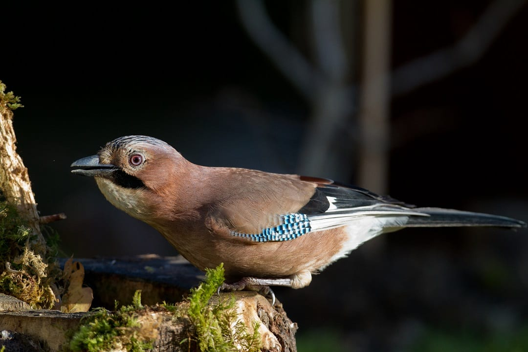 jay-drinking-from-hollow-tree-trunk