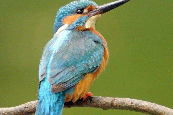 kingfisher-looking-up-against-green-background