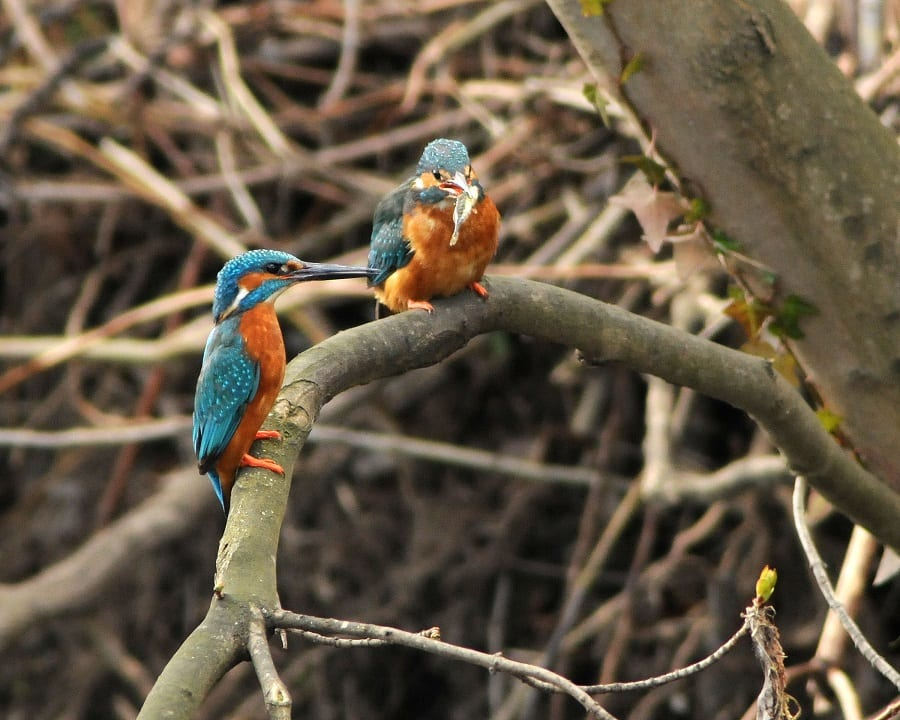 two-kingfisher-perched-on-branch-one-with-fish-prey