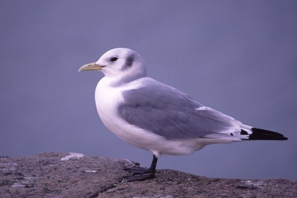 kittiwake-in-winter-plumage-standing-on-rock