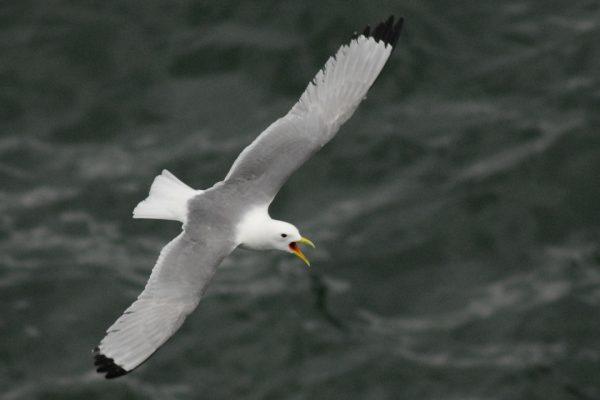 kittiwake-in-flight-sea-background