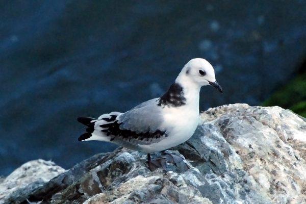 kittiwake-juvenile-on-rock-sea-background