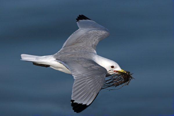 kittiwake-in-flight-with-nest-building-material-in-beak