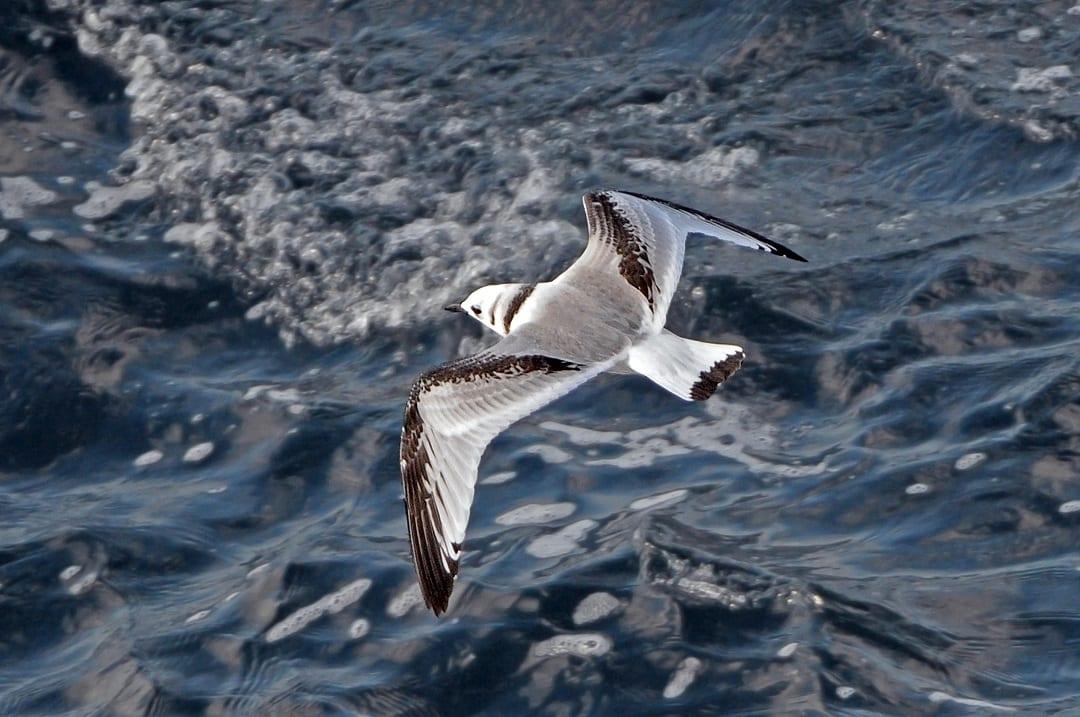 kittiwake-juvenile-in-flight
