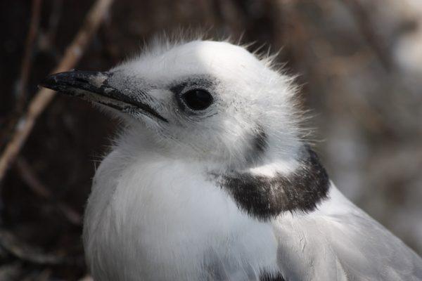 kittiwake-juvenile-close-up