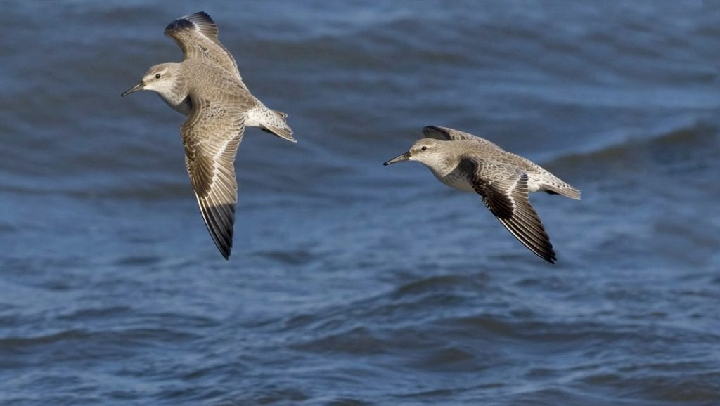 knot-pair-in-flight-over-the-sea