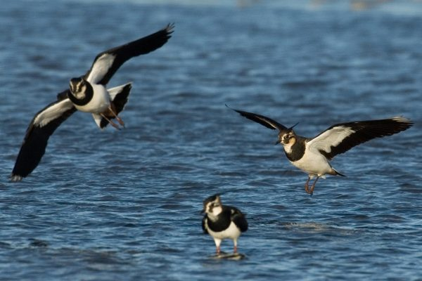 three-lapwings-coming-in-to-land