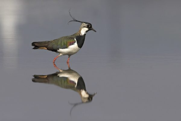 lapwing-wading-with-reflection-on-water