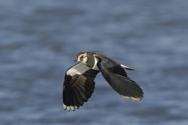 lapwing-in-flight-sea-background