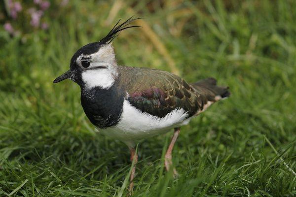 lapwing-juvenile-walking-through-grass