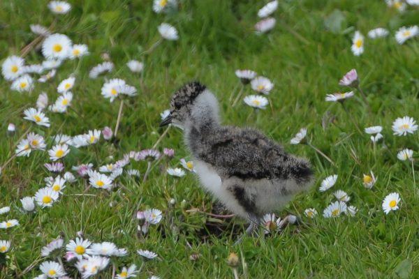 lapwing-chick-walking-through-daisies