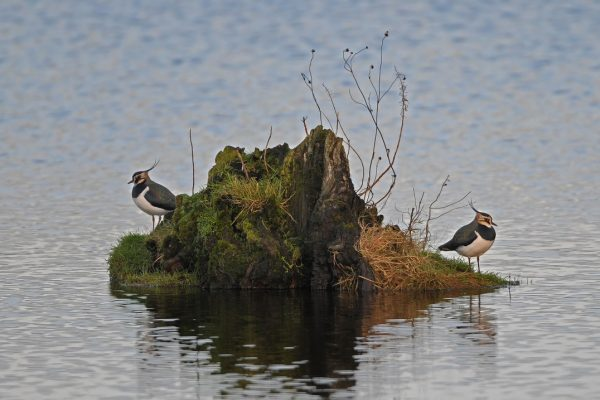 two-lapwings-standing-on-submerged-tree-stump