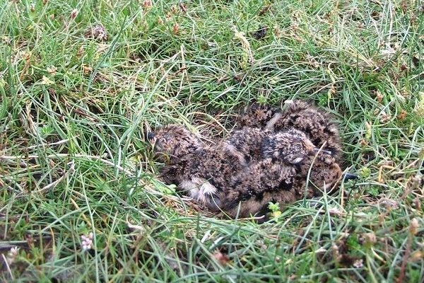 lapwing-chicks-on-nest