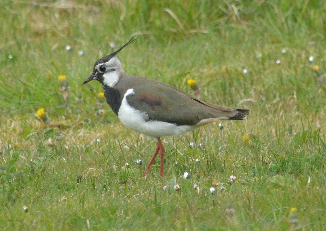 lapwing-in-field