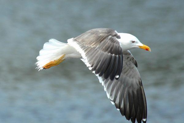 lesser-black-backed-gull-flying-over-sea
