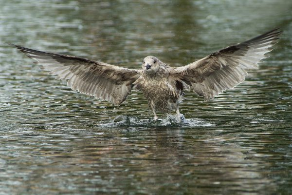lesser-black-backed-gull-juvenile-taking-off-from-water