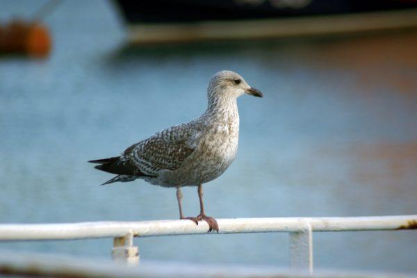 lesser-black-backed-gull-standing-on-rail