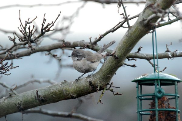 lesser-whitethroat-perched-in-tree