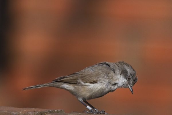 lesser-whitethroat-searching-for-food-in-a-wall