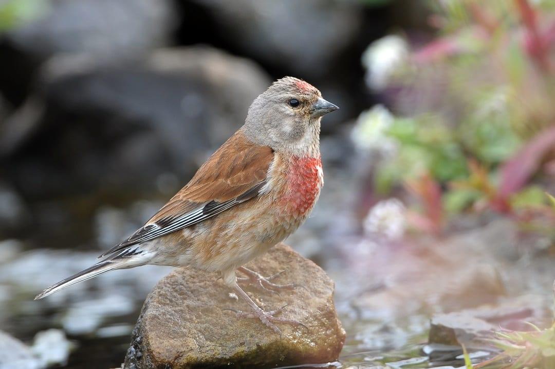 linnet-summer-plumage-red-breast
