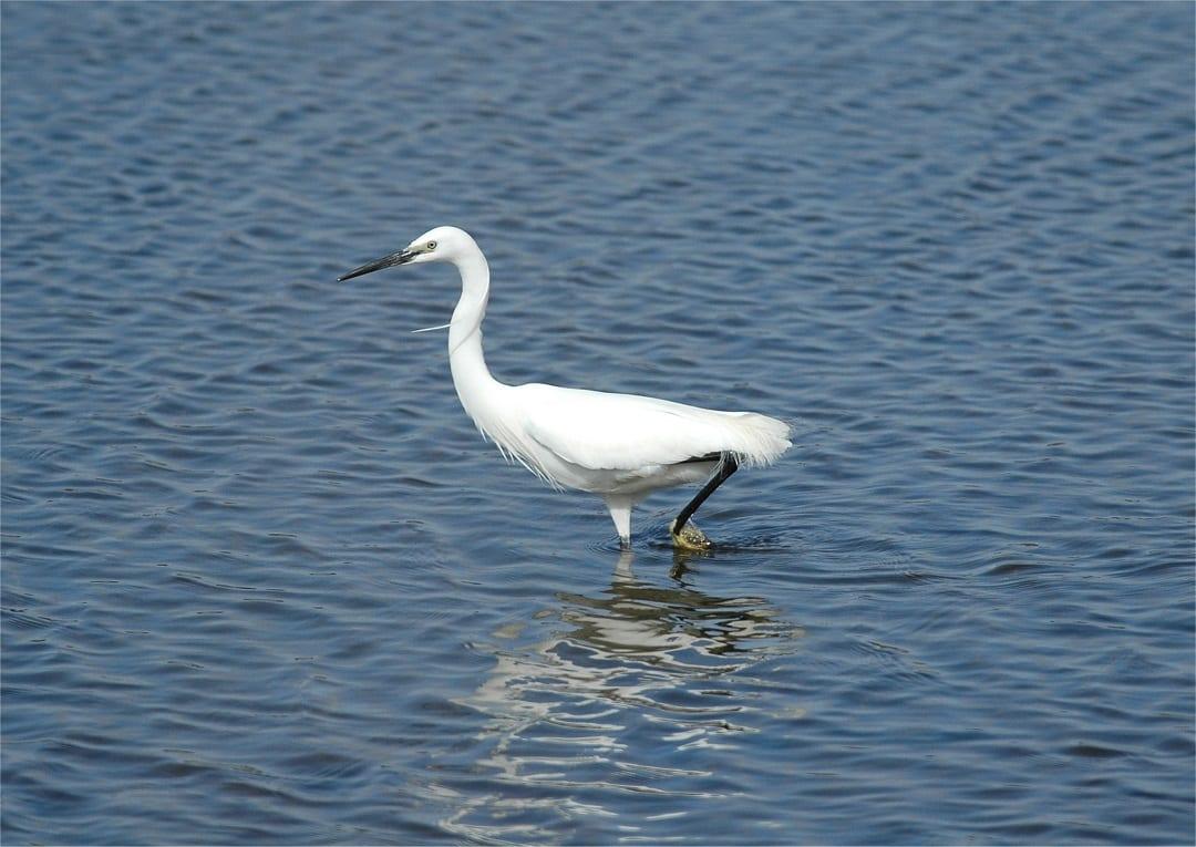 little-egret-wading
