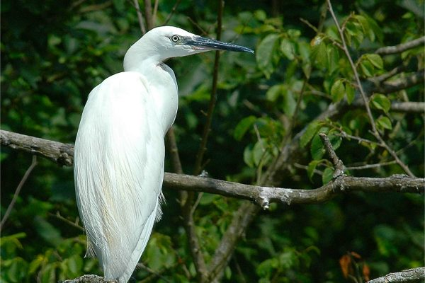 little-egret-perched-in-tree