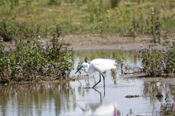 little-egret-wading-in-the shallows