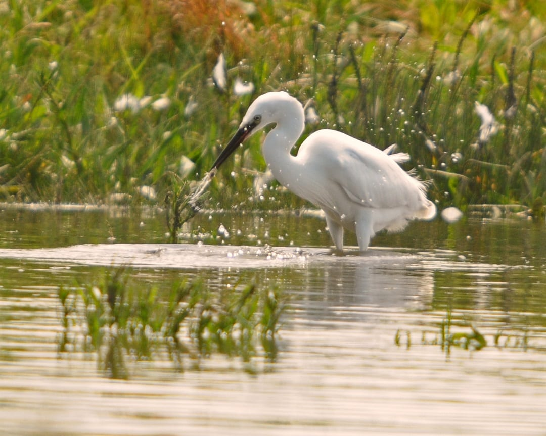 little-egret-catching-fish-prey