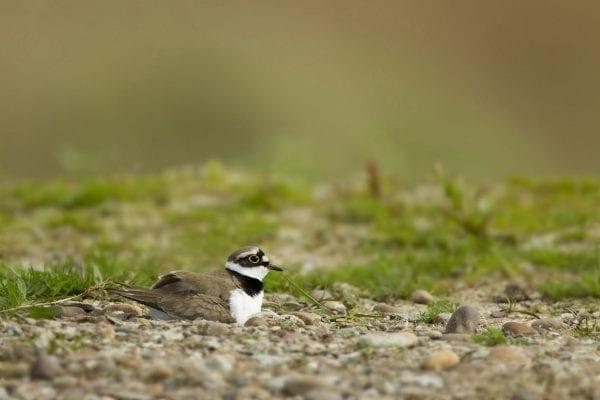 Little ringed plover sitting on nest, Langford Lowfields RSPB reserve, Nottingham, May