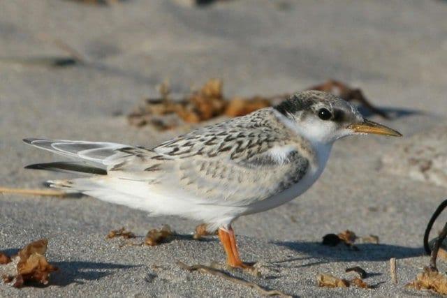 little-tern-fledgling-standing-on-sandy-beach