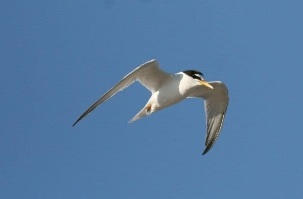 litte-tern-in-flight-blue-sky-background