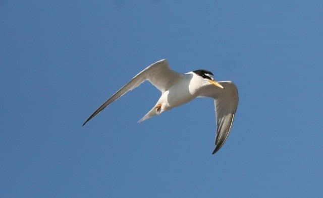 litte-tern-in-flight-blue-sky-background